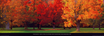 Reprodukce - Fotografie Krajin - Maple Trees in Autumn, Tom Mackie